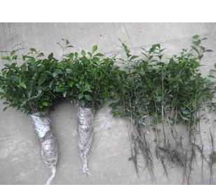 关于名贵盆景植物金弹子的两个重要问题