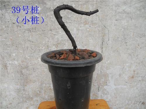 金弹子下山桩(生桩)的栽培管理方法