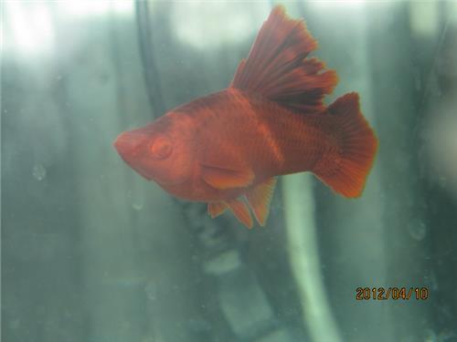 【高帆红剑鱼养殖】高帆红箭鱼繁殖方法是什么?