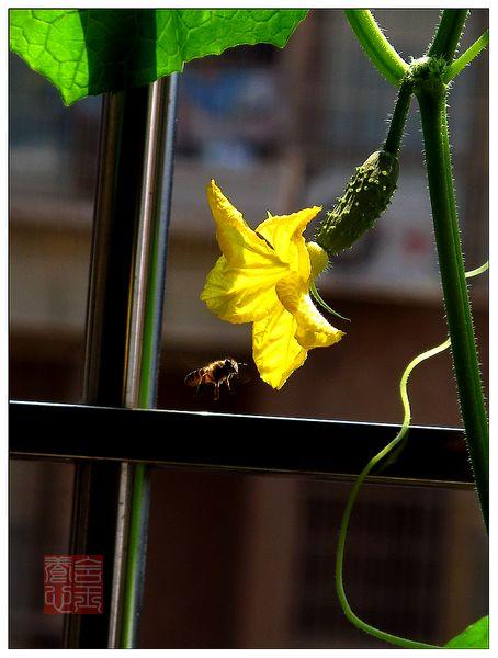 盆栽荷兰小黄瓜的种植方法