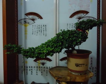 【铁茉莉修剪图片欣赏 铁茉莉修剪方法和不开花怎么办】