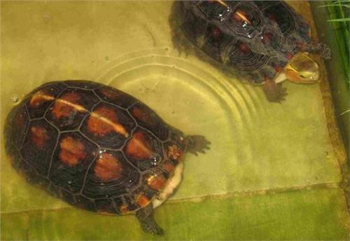 【黄缘龟龟池设计图 黄缘闭壳龟龟池注意事项】