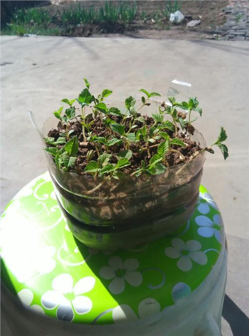 樱桃核怎么种盆栽图片