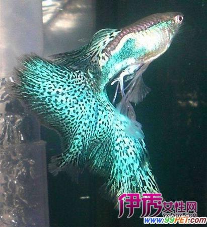 请问红绿灯鱼 红斑马鱼 孔雀鱼和白鼠鱼能不能混养