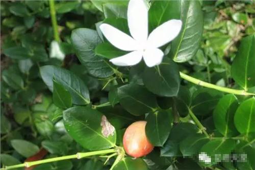 【铁茉莉有毒吗】盆栽铁茉莉的养殖方法