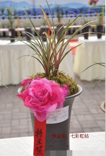 【兰花一顶红图片】2016年全国兰展获奖兰花图片 兰花博览会