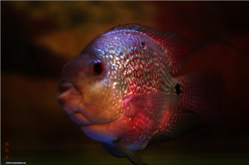 麒麟鹦鹉鱼繁殖图片大全|麒麟鹦鹉鱼