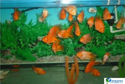 银龙鱼和鹦鹉鱼混养要注意什么