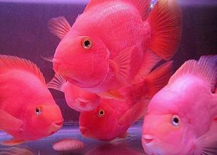 麒麟鹦鹉鱼怎么养 平时要勤换水