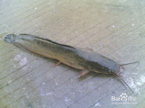 【塘角鱼养殖成本真实资料】塘鲺的养殖成本 本地塘虱养殖的成本是多少