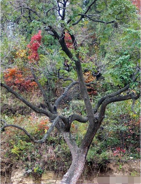 【降龙木和六道木的区别】九道木和六道木区别图解