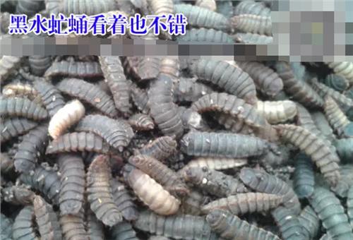 【黑水虻养殖基地】黑水虻养殖效益分析 黑水虻养殖成本