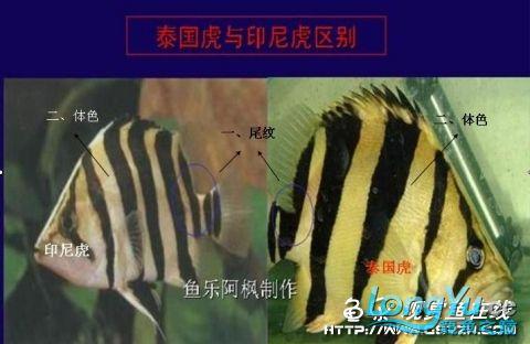 印尼苏门答腊岛龙鱼_泰国虎和印尼虎有什么区别?_飞扬123
