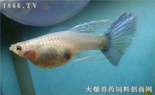 皮球玛丽鱼生过小鱼后母鱼就死了 是怎么回事?