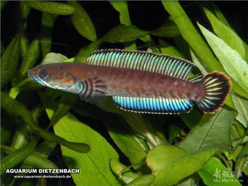 雷龙鱼和鱼混养草鱼和锦鲤混养图片