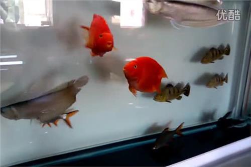 飞凤鱼 泰国虎 地图鱼 鹦鹉鱼 银龙鱼 猪鼻龟 招财可以混养?