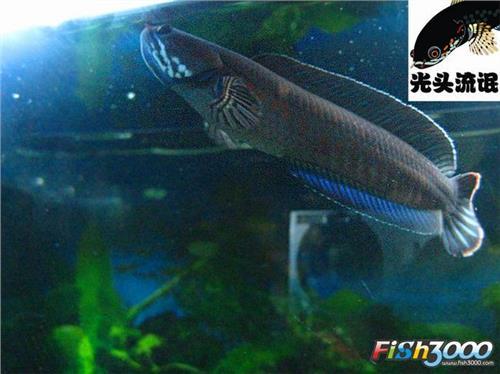 雷龙鱼和鱼混养_飞扬123塞尔达雷龙电图片