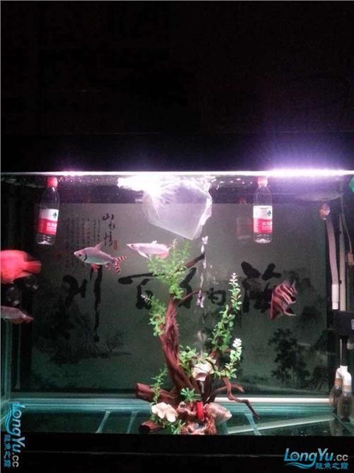 小议解决龙鱼混养打架的一些小方法