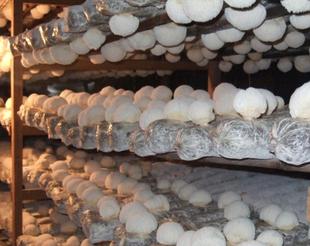 【大棚蘑菇种植利润】几个种蘑菇致富的故事:室内大棚食用菌蘑菇栽培技术
