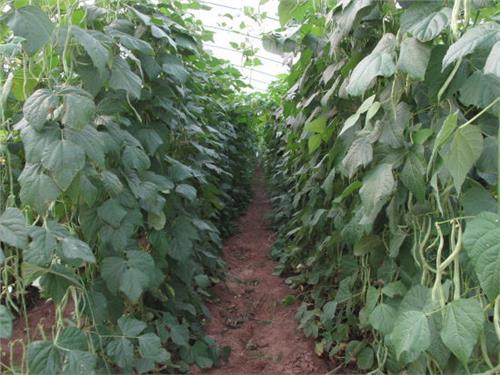 【豆角大棚蔬菜种植利润分析】蔬菜豆角大棚一亩地一年纯利润是多少