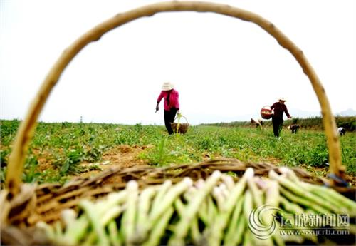 2016年芦笋种植前景 种植芦笋赚钱吗?每亩芦笋纯利润1 5万元