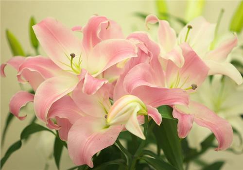 新买回家的百合花该怎么养 刚买回的百合花怎么一晚上就蔫了?