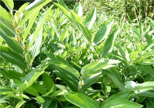 【黄精种植亩产量】一亩地种植黄精能有多少产量