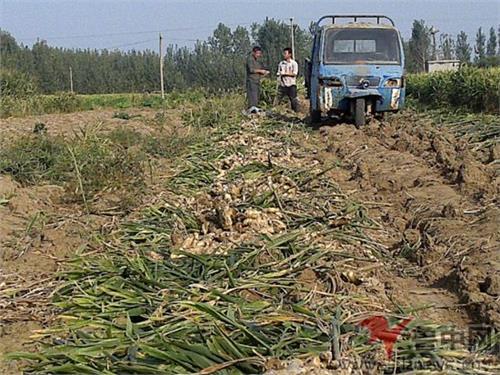 生姜种植成本利润 生姜种植成本