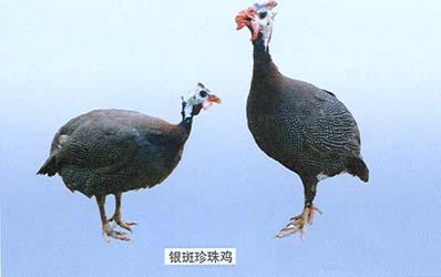 珍珠鸡怎么分公母对照图片 分辨珍珠鸡公母的5个方法 图片图片