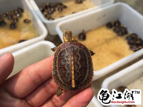 黄缘龟为什么那么贵 安缘龟为什么那么贵