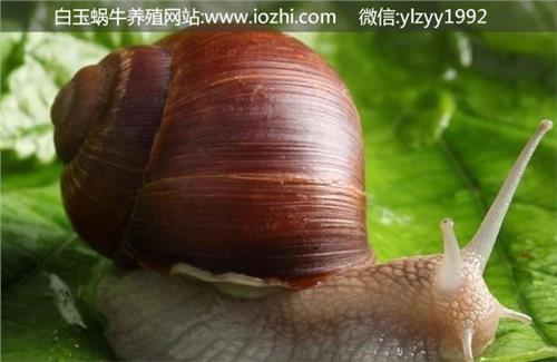 水蜗牛吃什么食物 白玉蜗牛吃什么食物