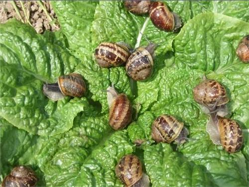 水蜗牛能吃吗 蜗牛成灾危害大 它会抢吃蔬菜、水果