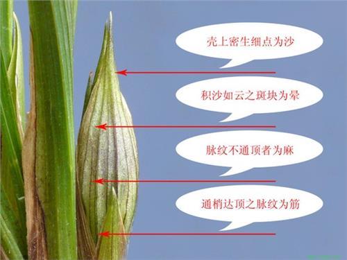 下山兰奇花的挑选 看叶尖识花品(附图一张) 挑选下山兰的诀窍