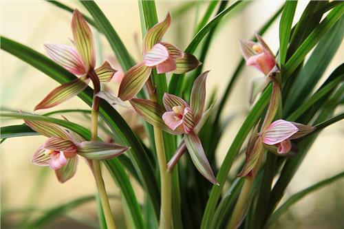 下山兰花图片 名贵兰花品种图片墨兰 最名贵的中国兰花品种是什么?