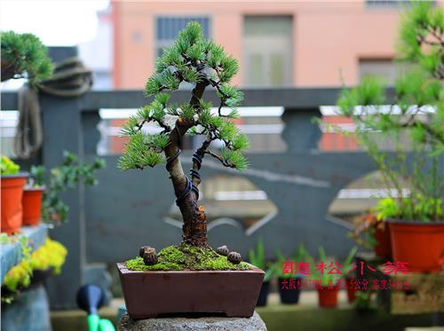 日本大阪松 要去趟日本 可以带大阪松小盆景回来么