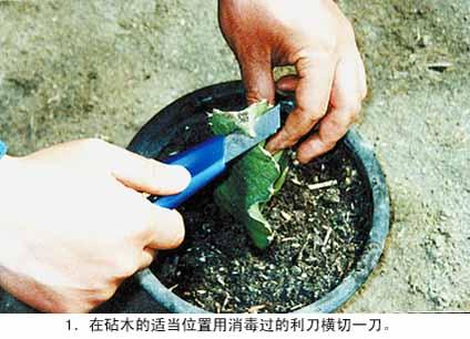 巴西龙骨的嫁接方法 蟹爪兰的嫁接养殖方法