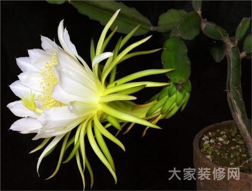 龙骨柱开花图片 【龙骨花】龙骨花的养殖方法|龙骨花图片欣赏
