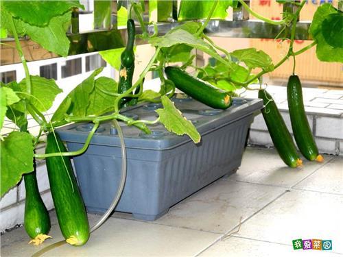 盆栽水果黄瓜 水果黄瓜阳台盆栽种植方法介绍 怎么在种菜盆种