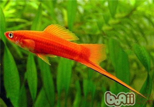 剑尾鱼图片 【红箭鱼图片】红箭鱼如何分公母