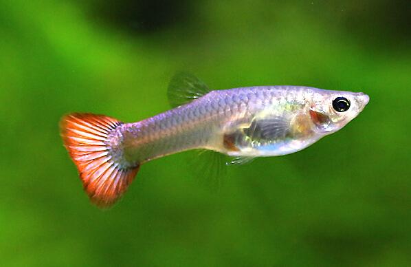 孔雀鱼下崽前兆素材/孔雀鱼下崽前的征兆/母凤尾鱼下崽时有什么征兆