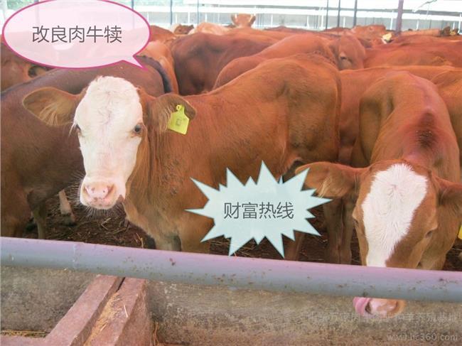 投资黑水虻养殖的成本 养殖100肉牛犊的投资以及养牛成本和利润分析