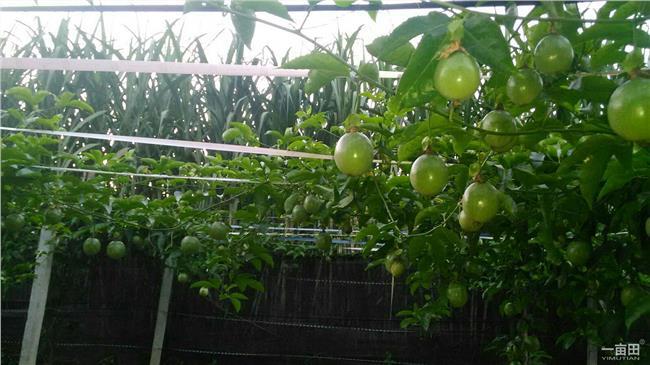 百香果种植要投资多少 在广西柳州种植百香果一亩要投资多少钱 一亩产多少斤 谢谢