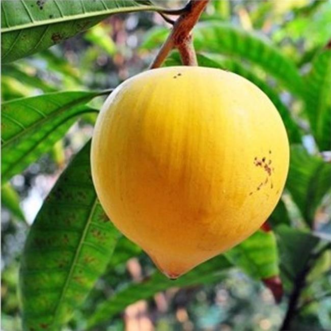 海南百香果种植基地 【百香果苗】海南百香果苗基地