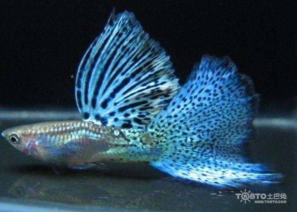 孔雀鱼的繁殖 孔雀鱼怎么分公母 孔雀鱼公母的分辨及繁殖