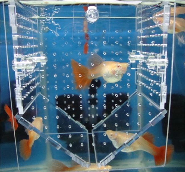 孔雀鱼的繁殖盒子自制 怎么制作孔雀鱼繁殖盒|用饮料瓶子自制孔雀鱼繁殖盒教程