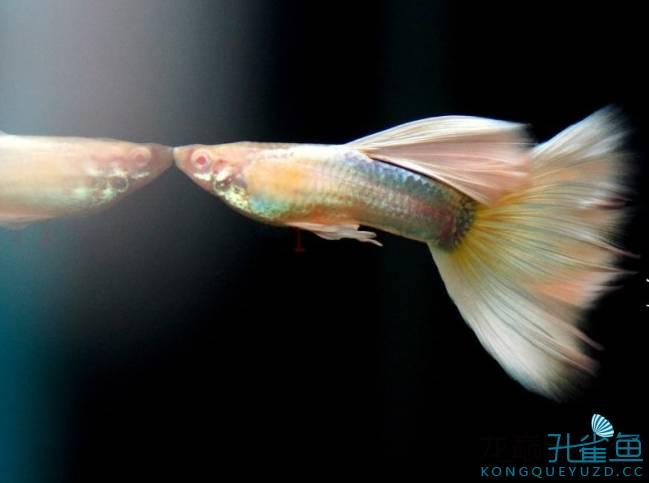 孔雀鱼怎么交配 孔雀鱼什么表现说明他们再交配?交配后多长时间能生小鱼?