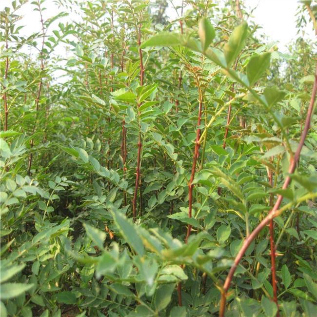 花椒种植方法 秋天花椒种子种植方法和时间