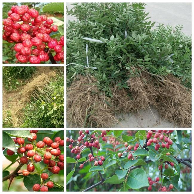 花椒种植间距 花椒大红袍种植平地行株距多少