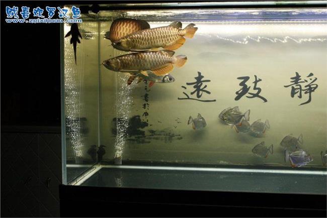 龙鱼混养打架 龙鱼2条 打架怎么办 龙鱼打架致残请教方法