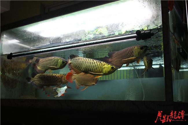 怎么防止龙鱼混养打架啊?